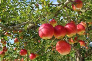 Tsugaru apple Picture